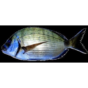 Sargoz Deniz Balığı (Doğal)